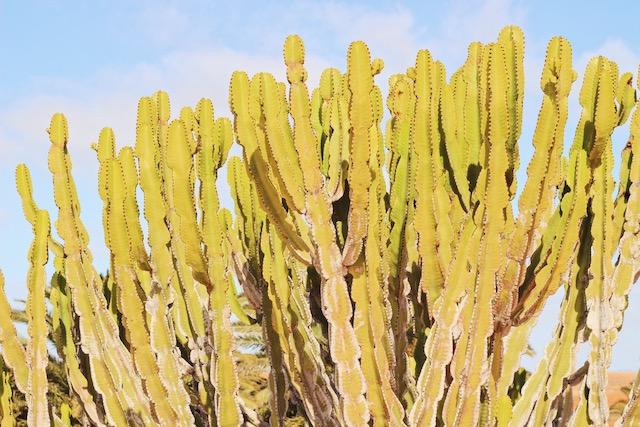 Кактусовый сад на Фуэртевентура