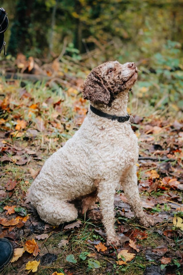 собака породы лаготто романьоло во время охоты на белый трюфель в городе савиньо в часе езды на машине от Болоньи в Италии
